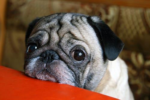 Canine Flu www.HealthyPetPeeps.com