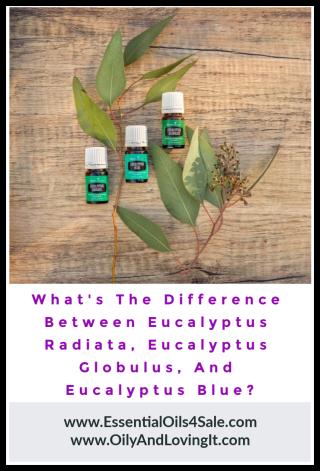 What's The Difference Between Eucalyptus Radiata  Eucalyptus Globulus  And Eucalyptus Blue - www.EssentialOils4Sale.com